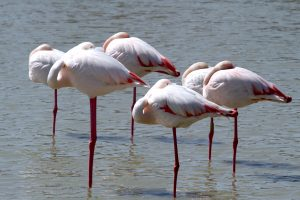 flamants-roses